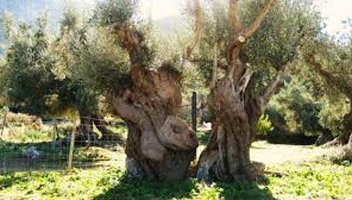 Bizarre Olivenbäume