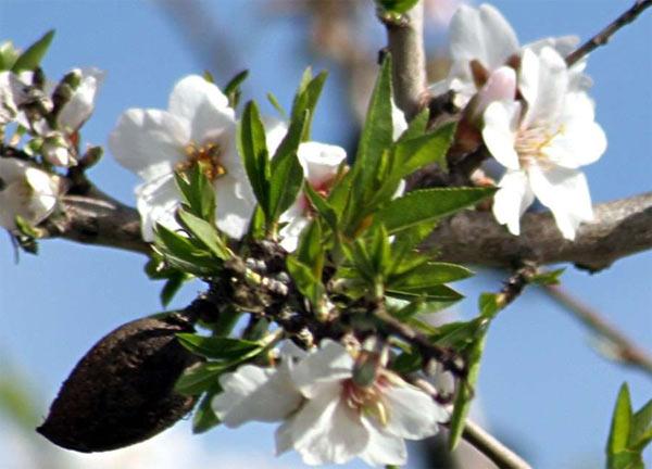 Mallorca almond