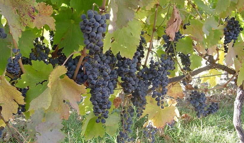 Mallorcan Wines