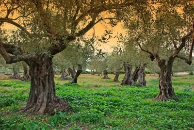 Ancient Olive trees in Majorca at Sunset